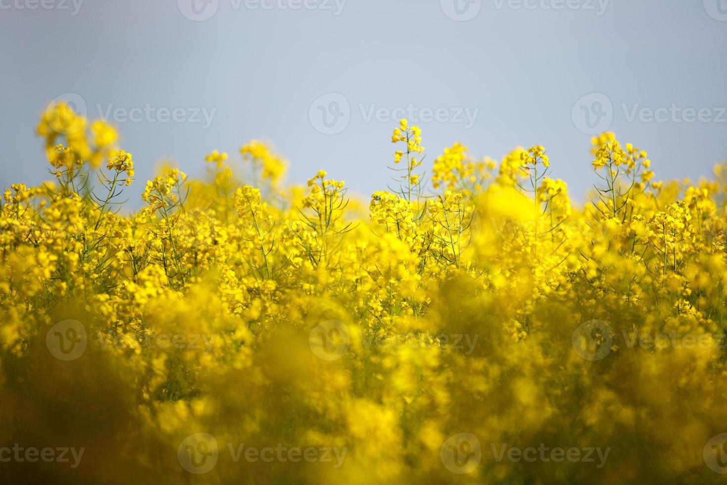 flores de violación foto