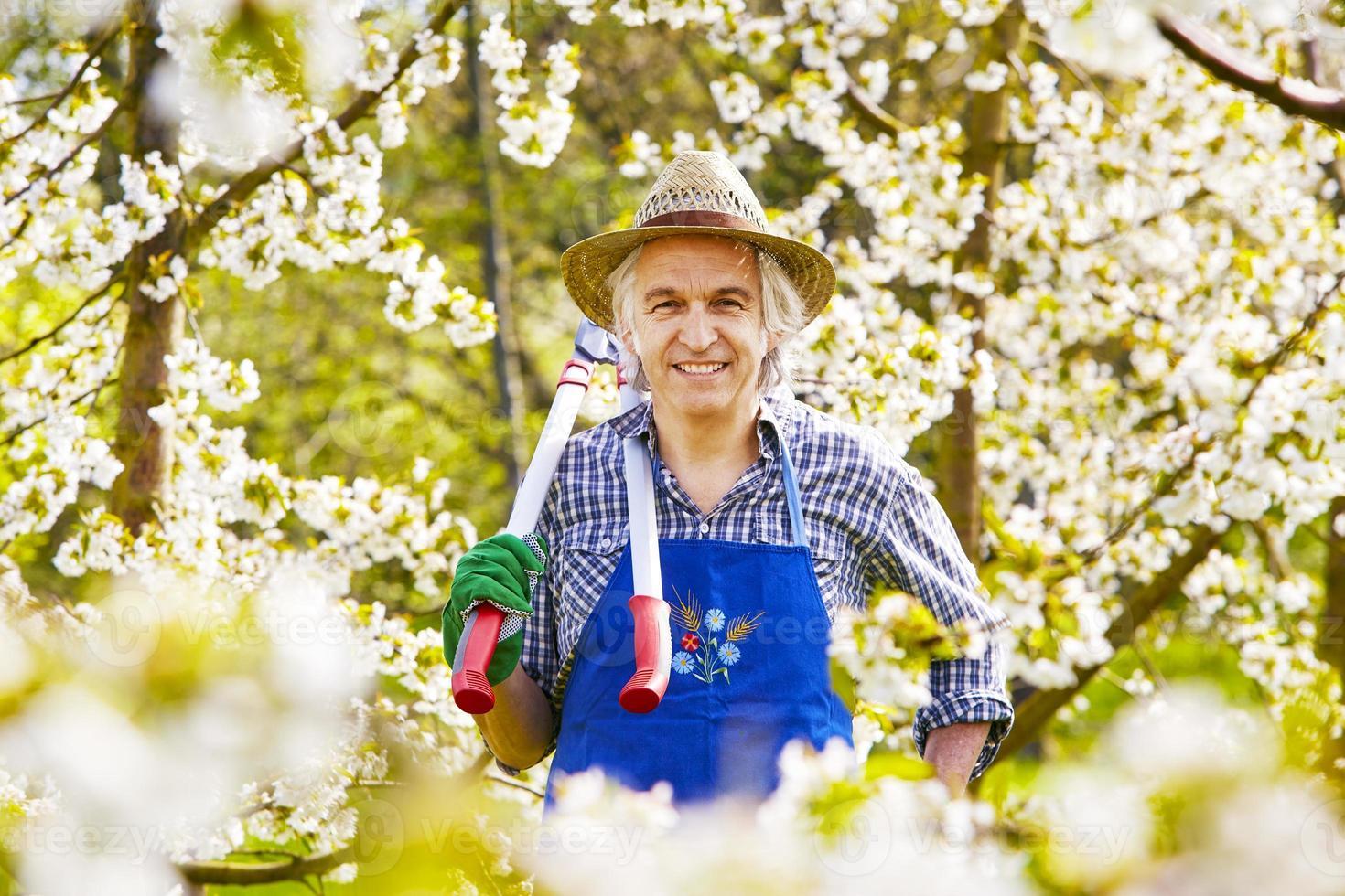 Man cherry tree blossom pruning shears photo