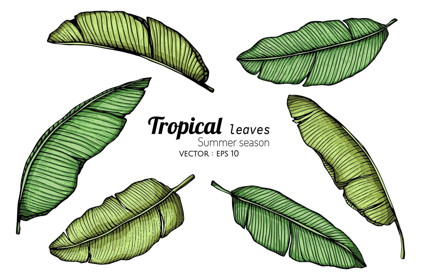 conjunto de hojas de plátano vector