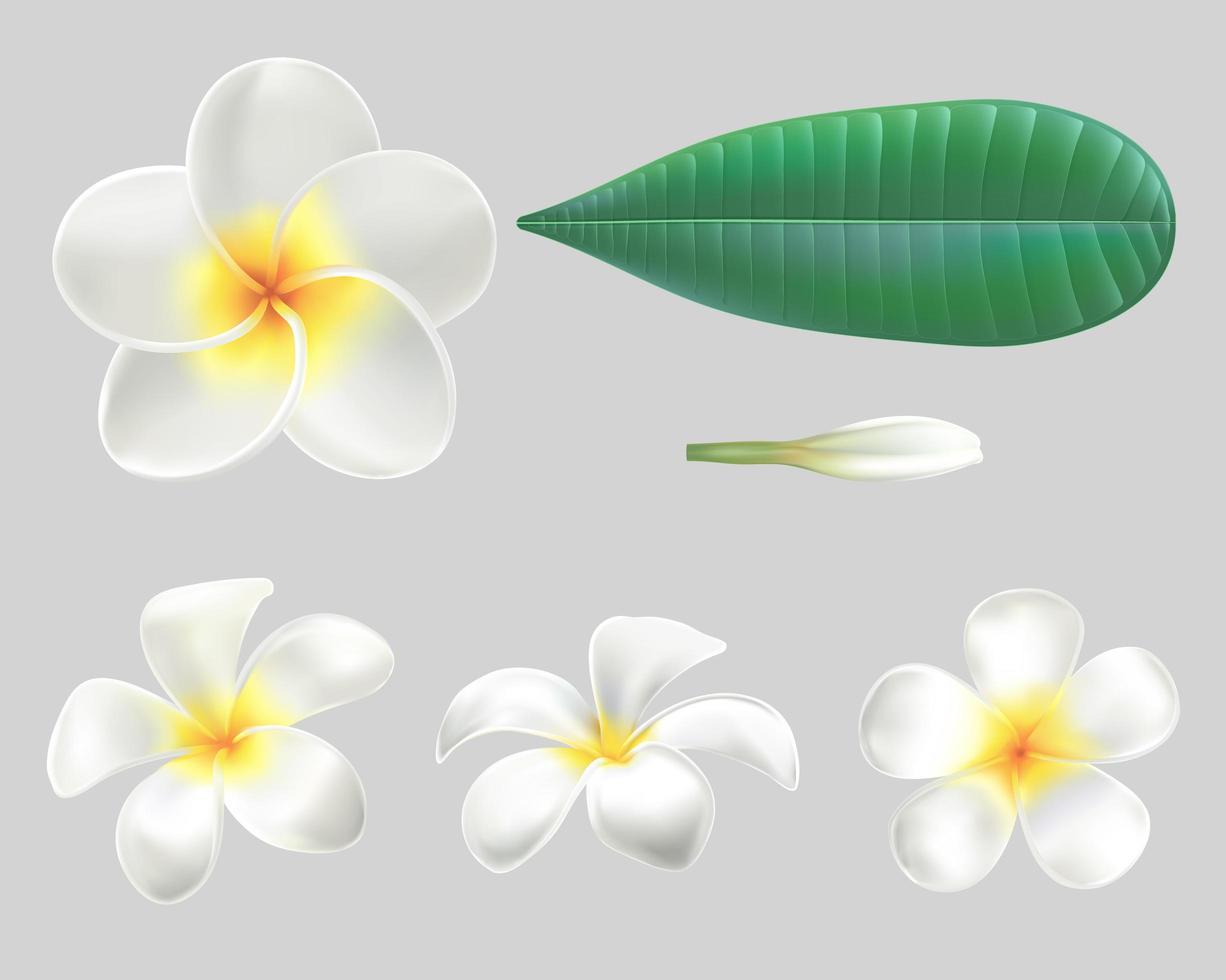 ingrediente de flores de plumeria blanca de colección vector