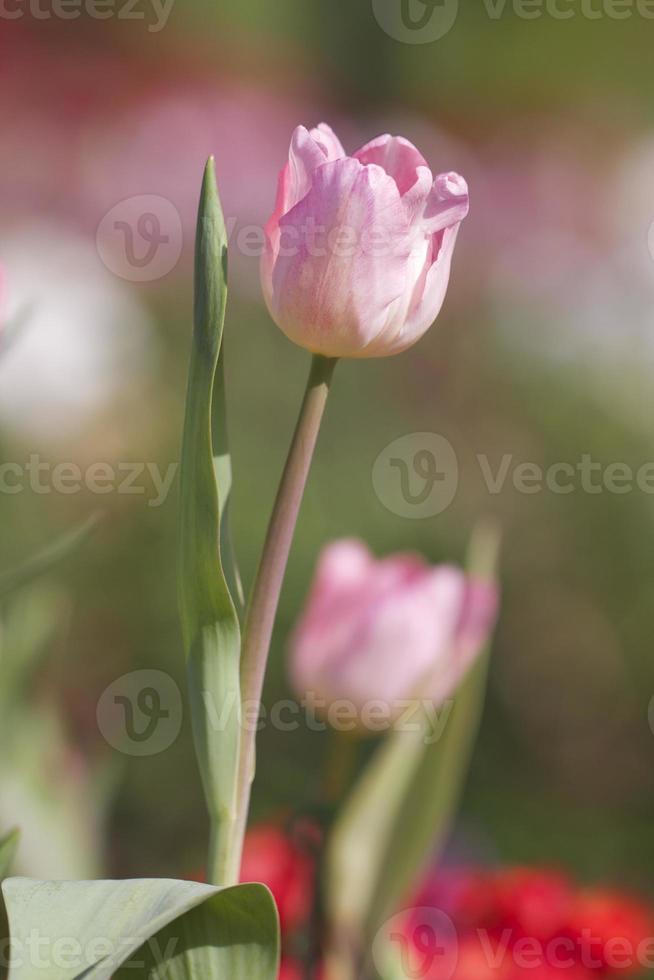 primer plano de tulipanes foto