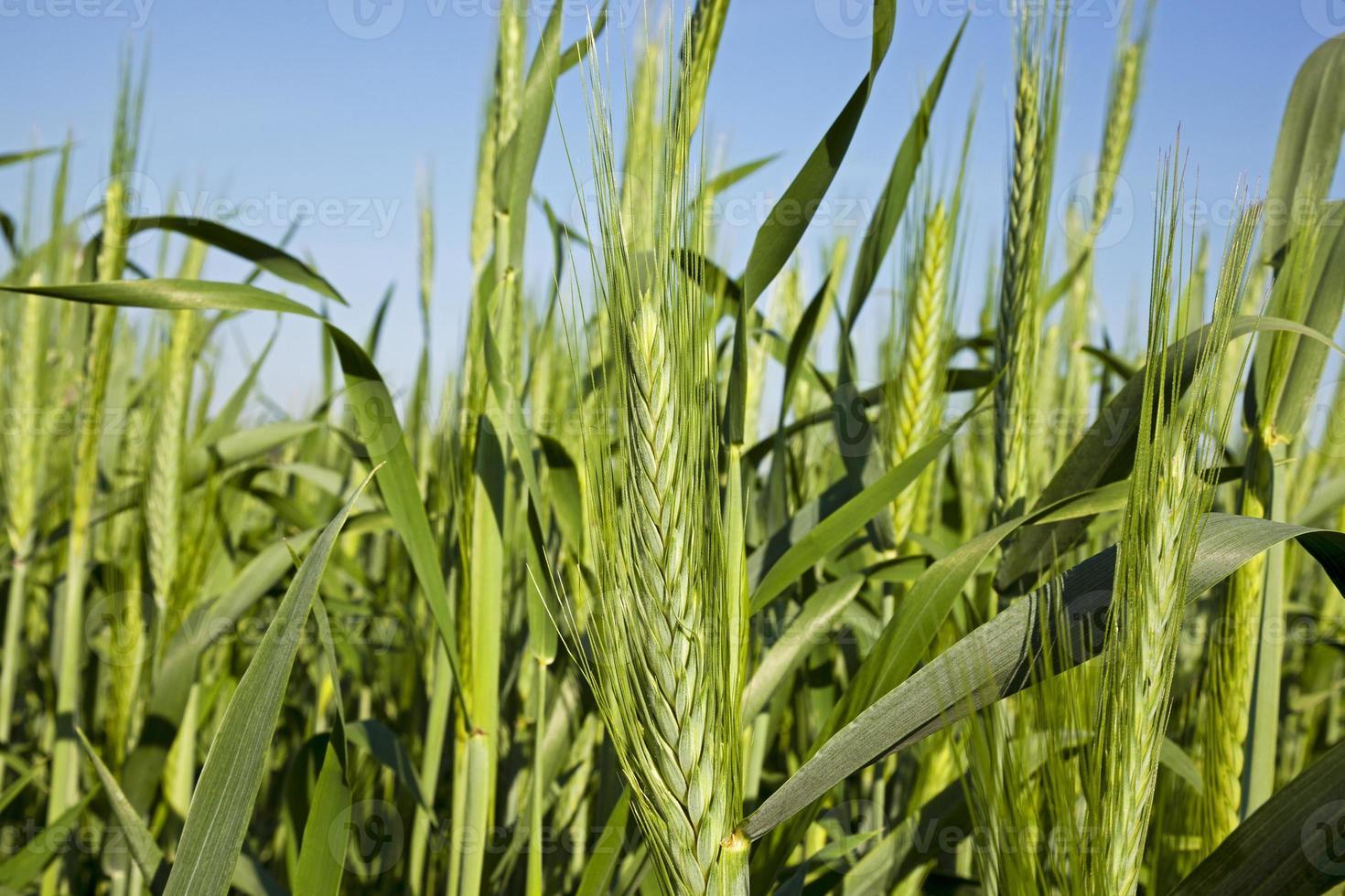 cereales. de cerca foto