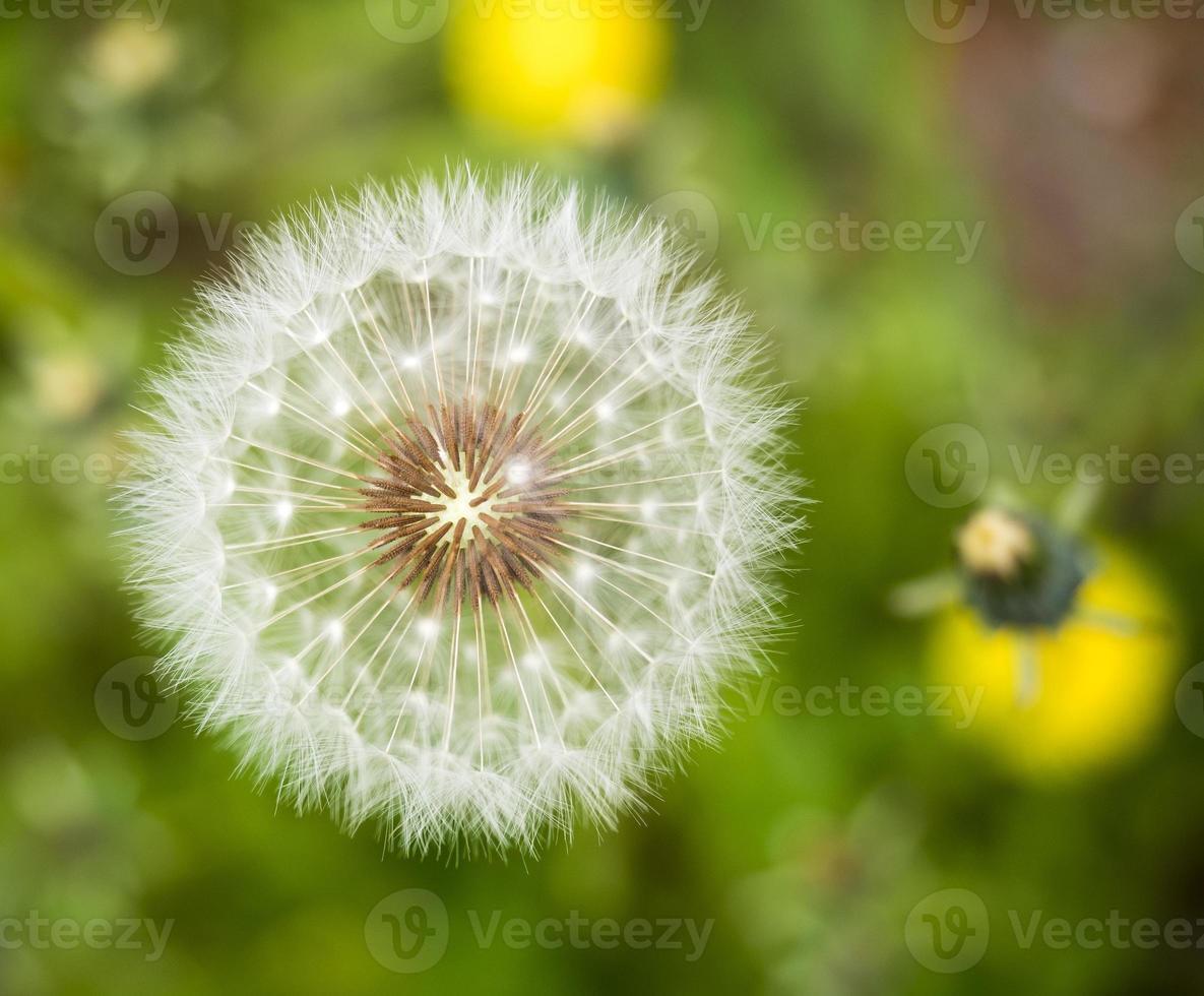 Dandelion Close-up photo