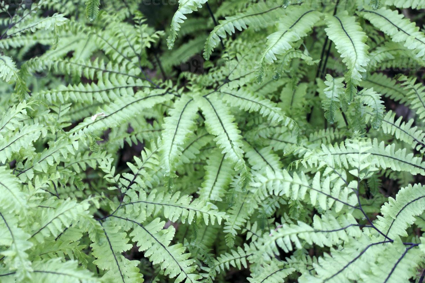 Ferns Close Up photo