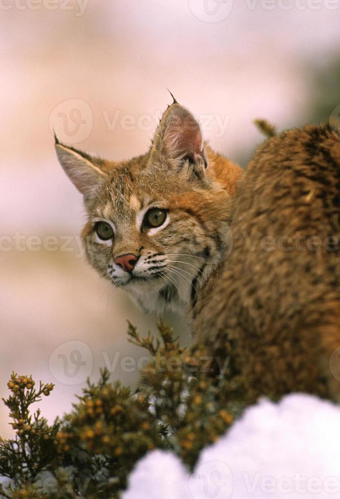 Bobcat Close Up photo