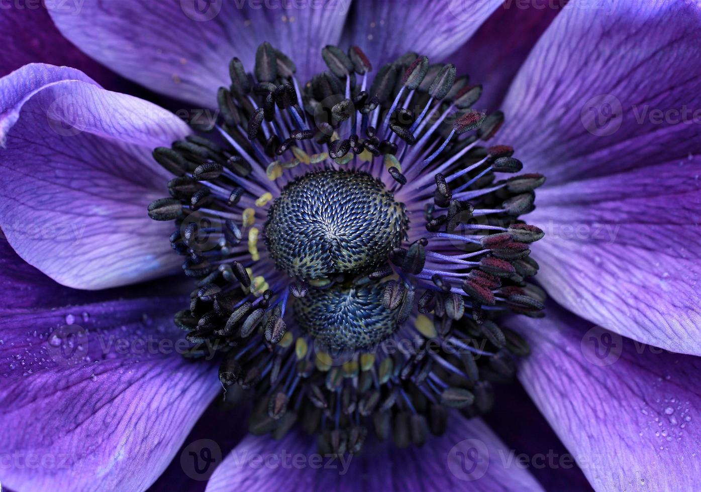 Anemone close up photo