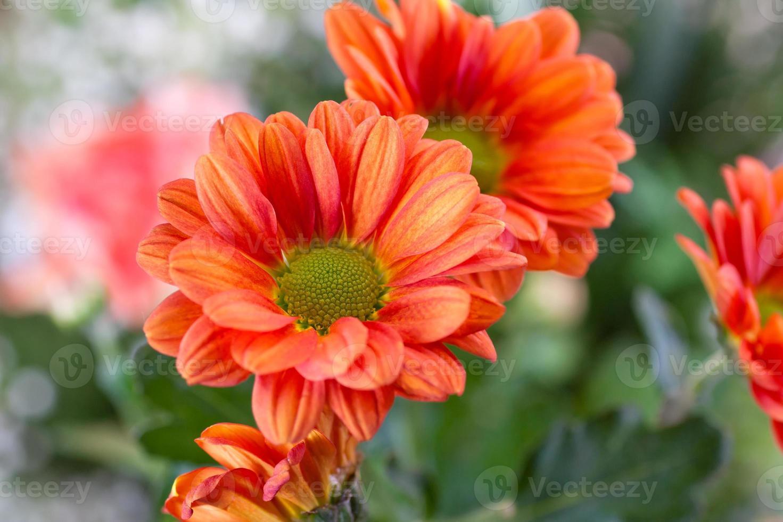 Close up orange chrysanthemum photo