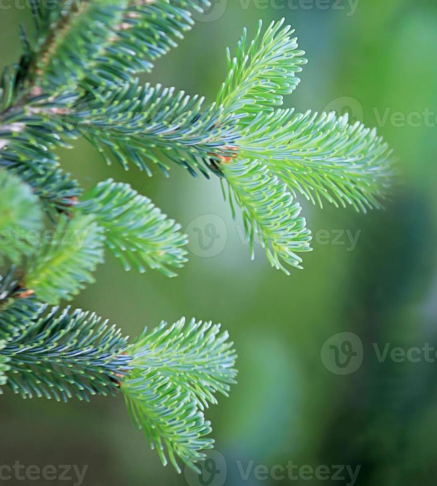 Fir branches close up photo
