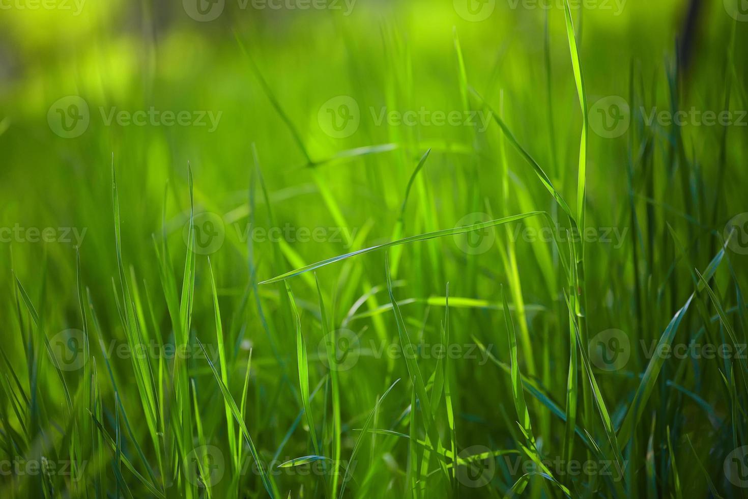 fresh spring grass photo