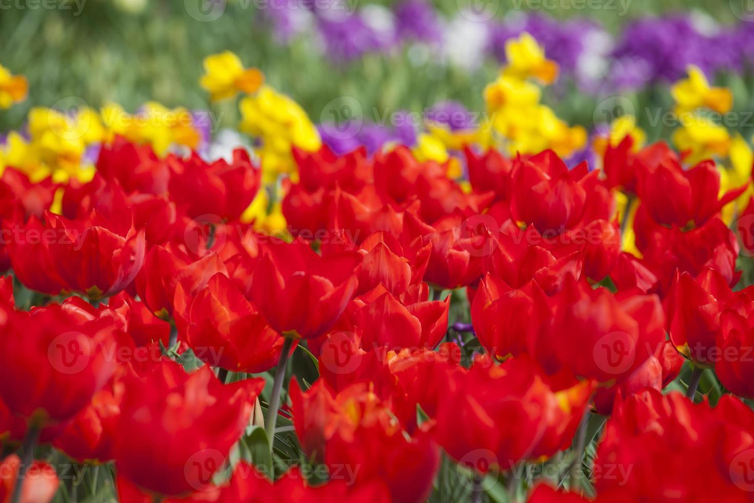 los florecientes tulipanes rojos foto