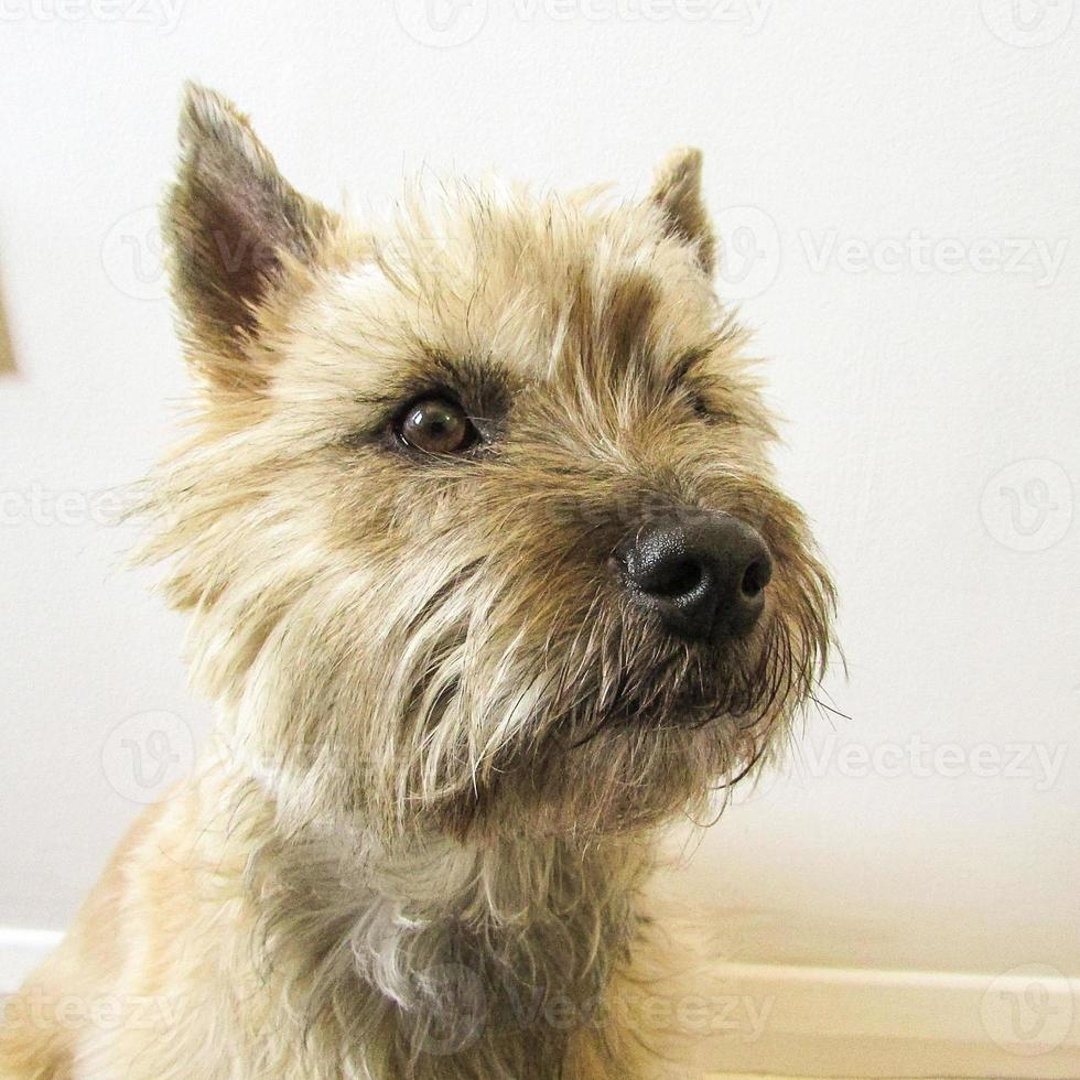 cairn terrier close up photo