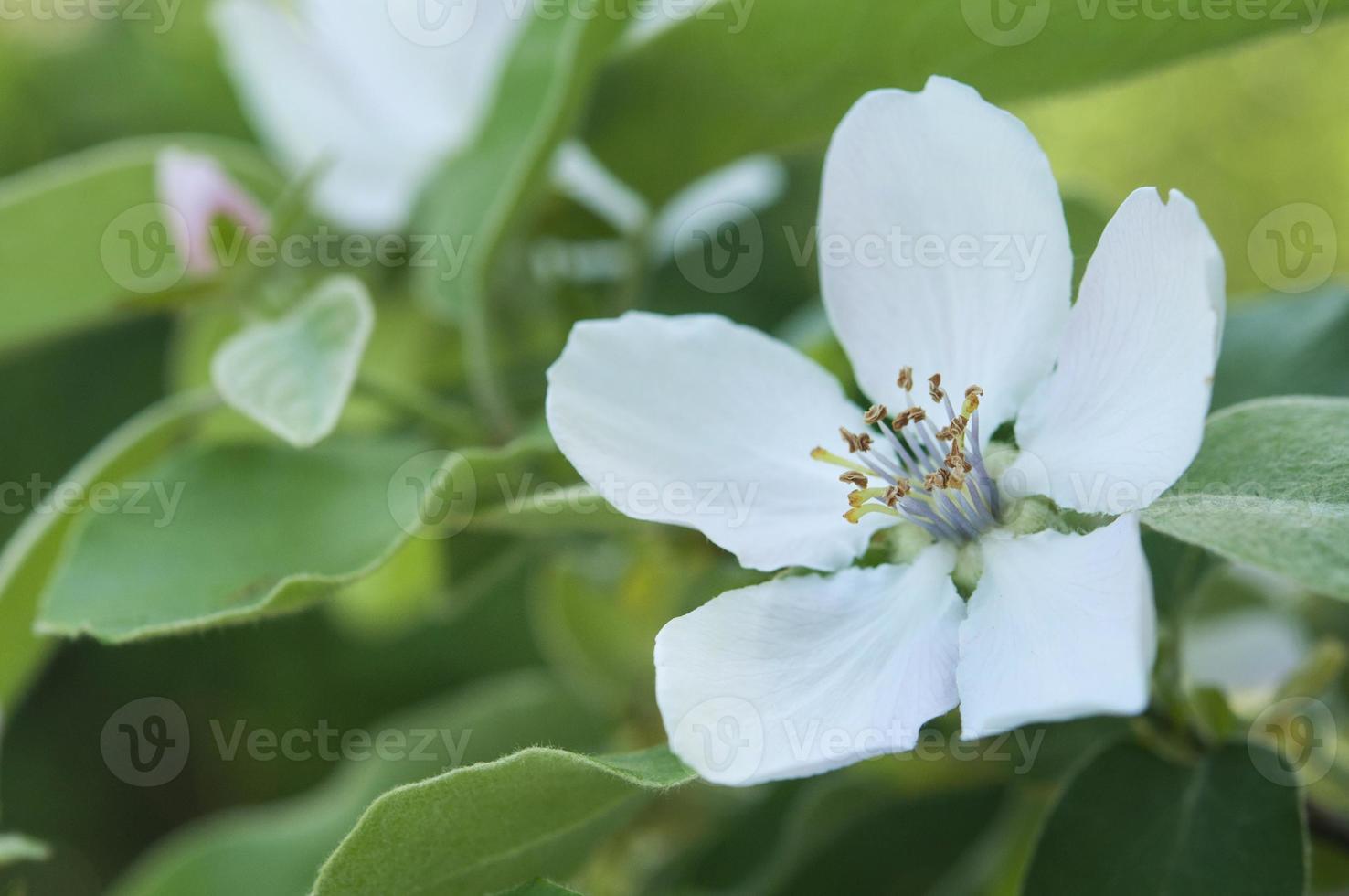 flores de membrillo de cerca foto