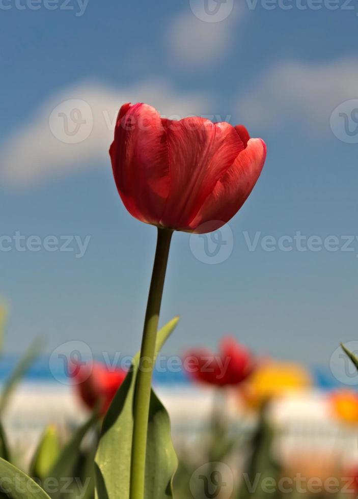 Red tulip against sky photo
