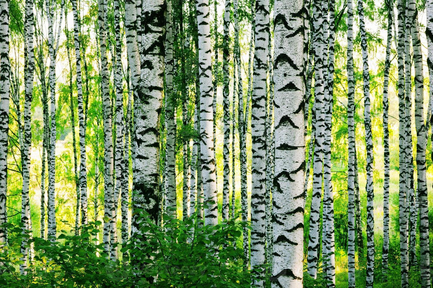 forest birch photo
