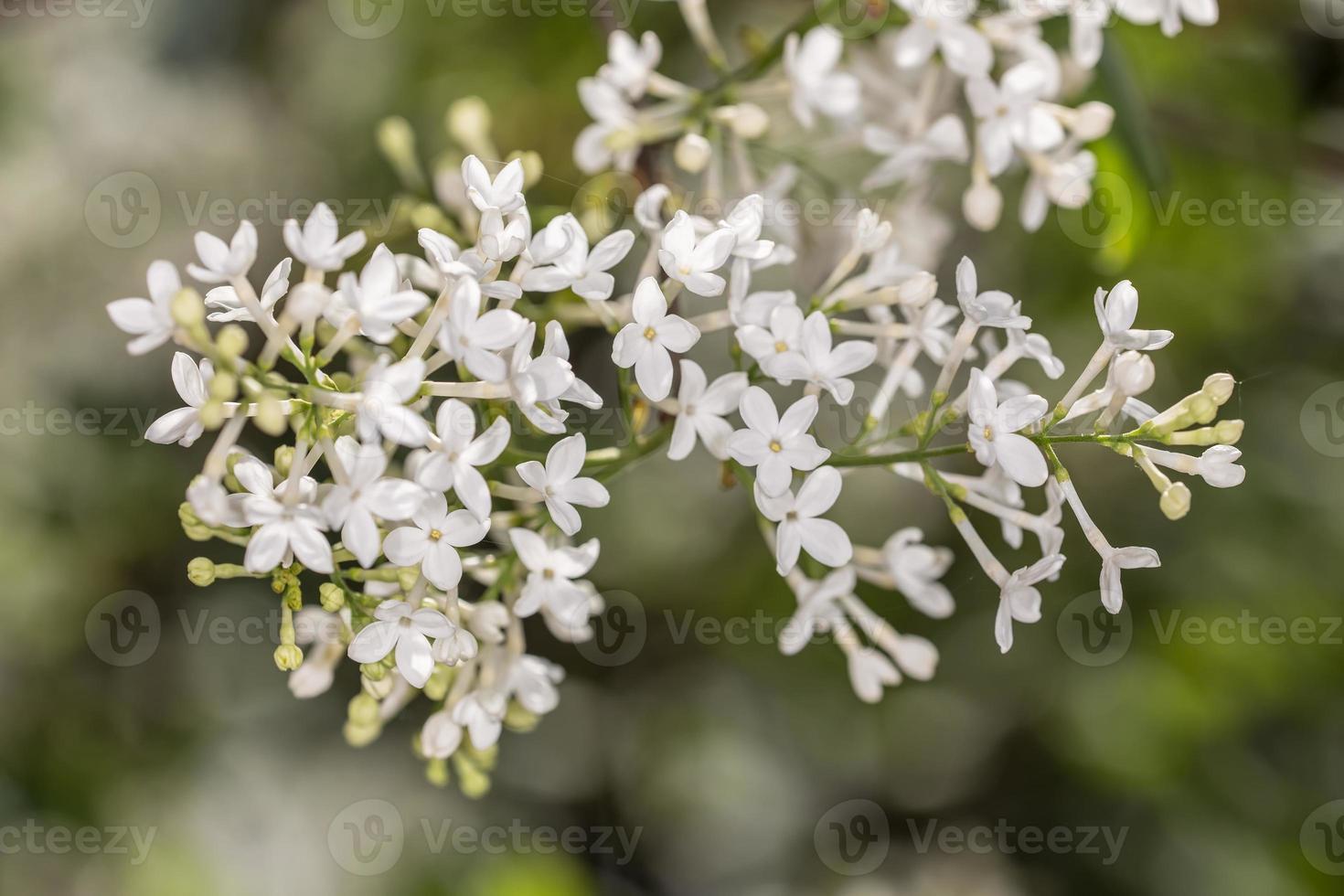 white lilac close up photo