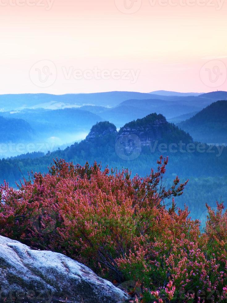 Rosa floración de brezo bush en acantilado. Valle brumoso abajo. foto
