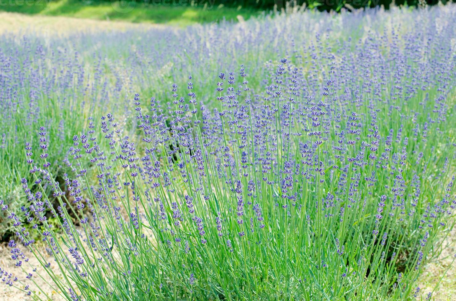 Lavender Bush Close-up photo