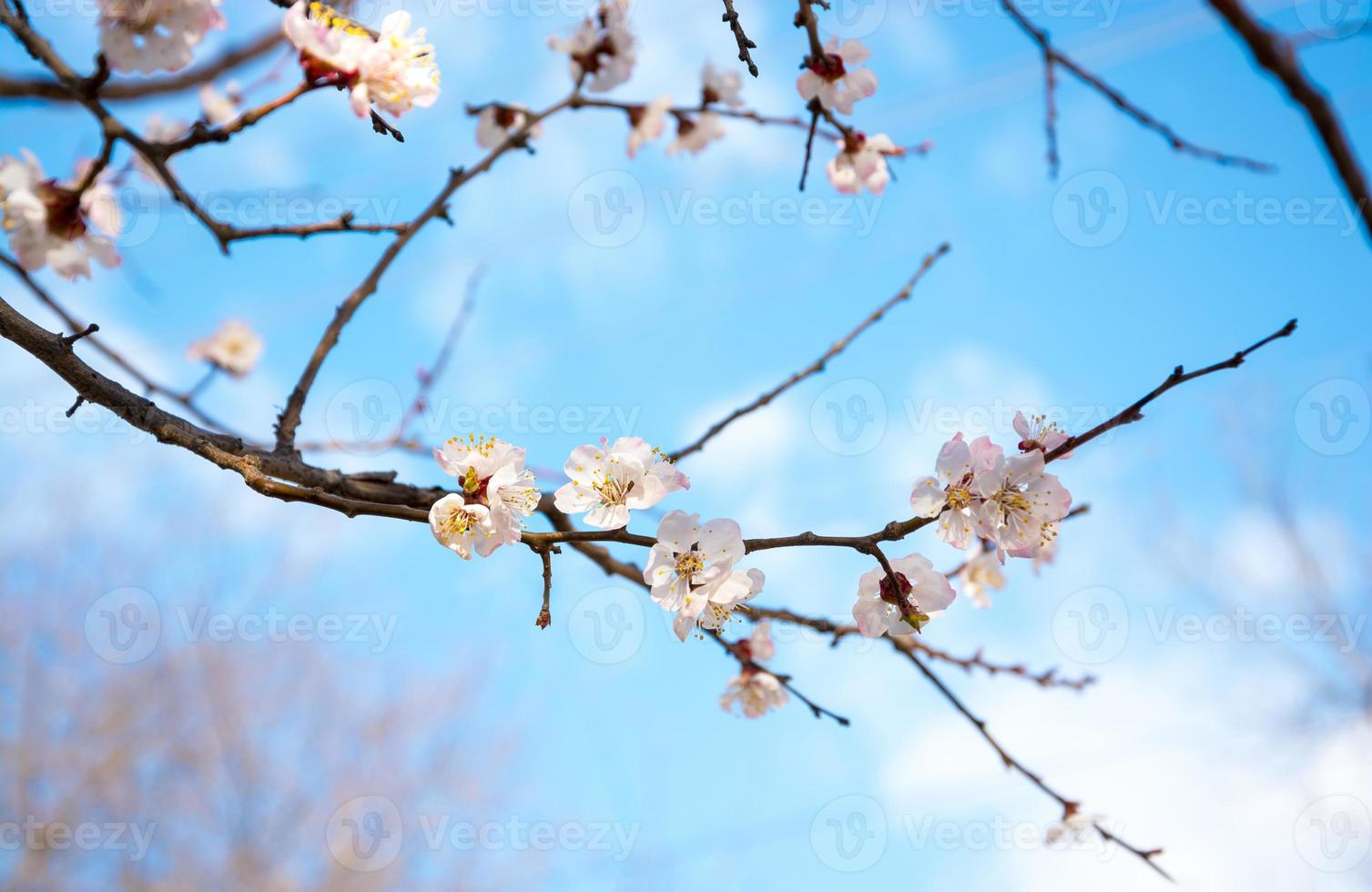 Flowering branch of apricot photo