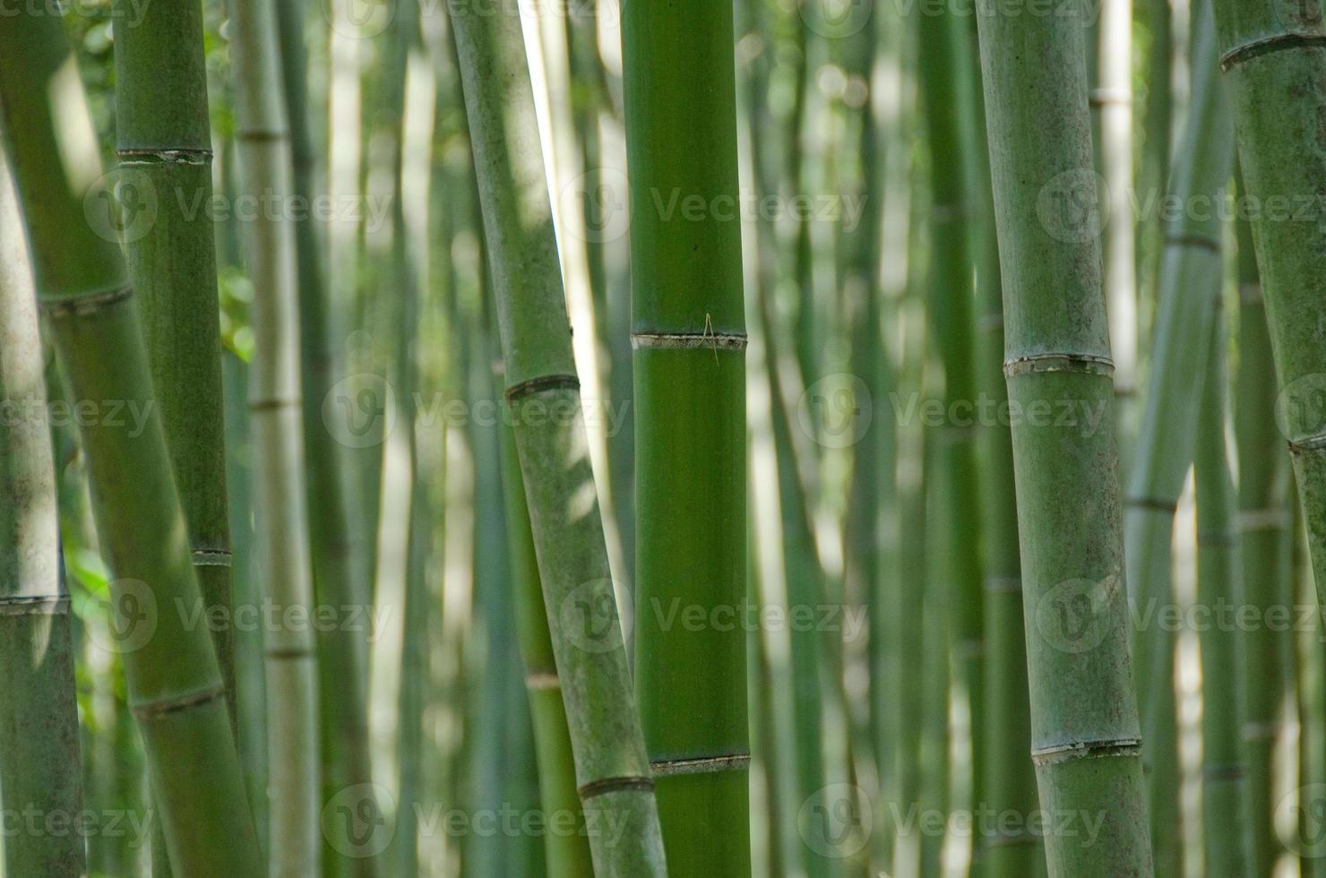Bamboo forest seen from the side photo