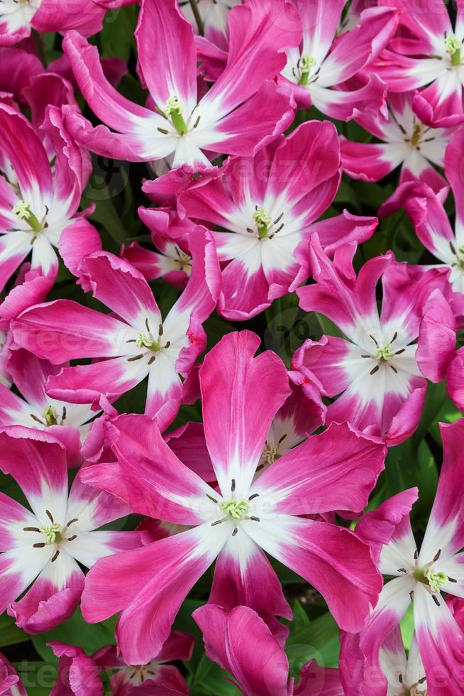 primer plano de tulipanes rosados foto