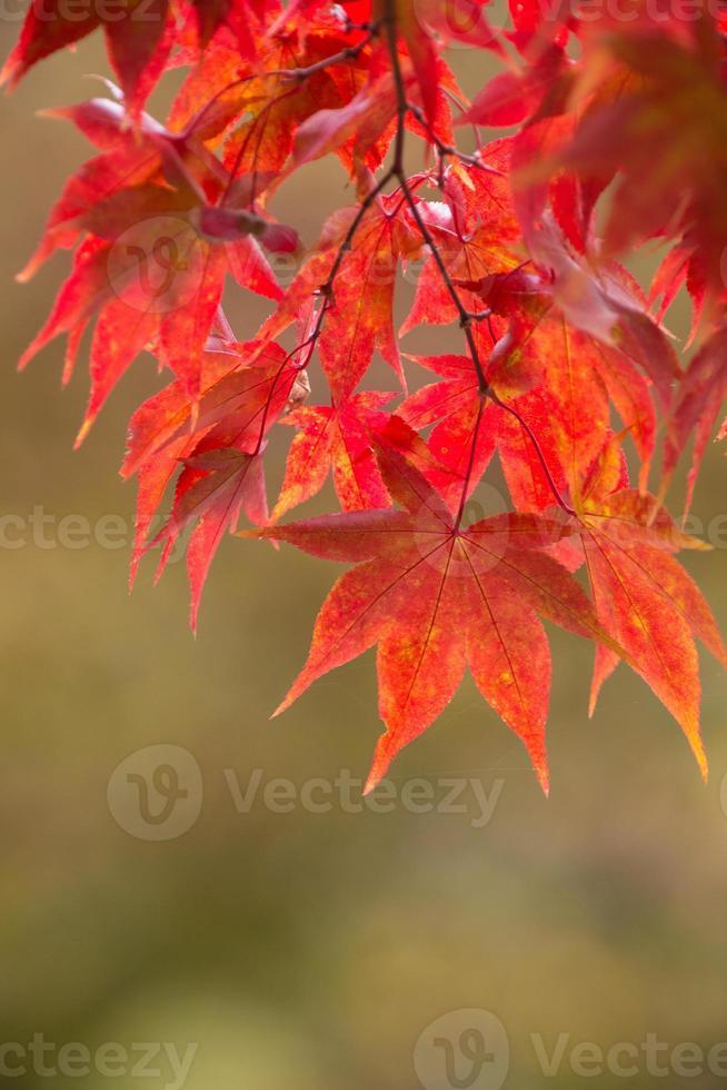 hojas de arce otoñal en Japón foto