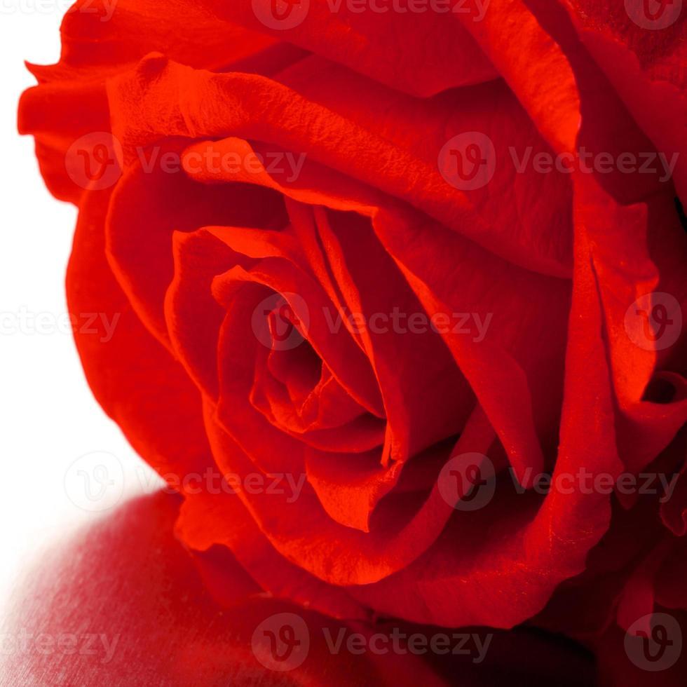 hermosa cerca rosa foto