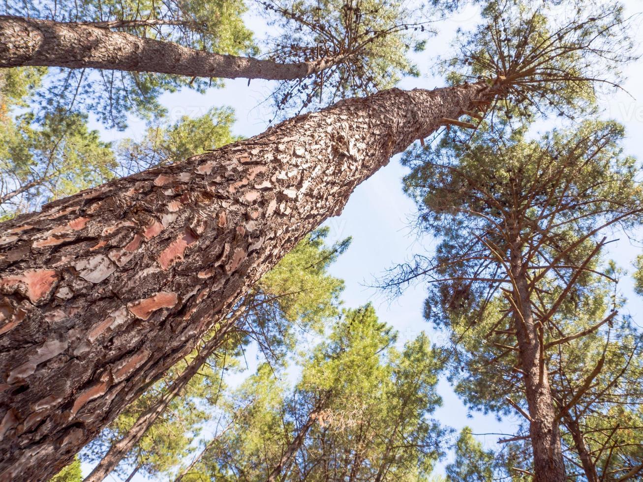 cortex pine close up photo