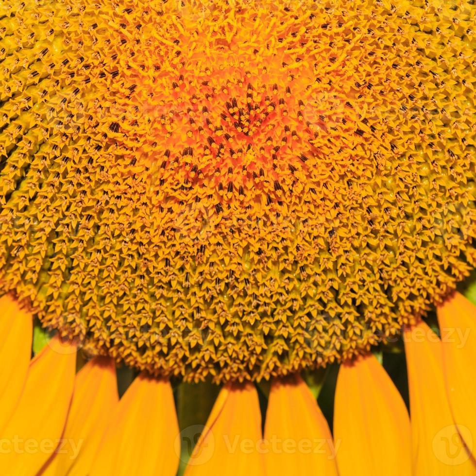 close-up of sunflower. photo