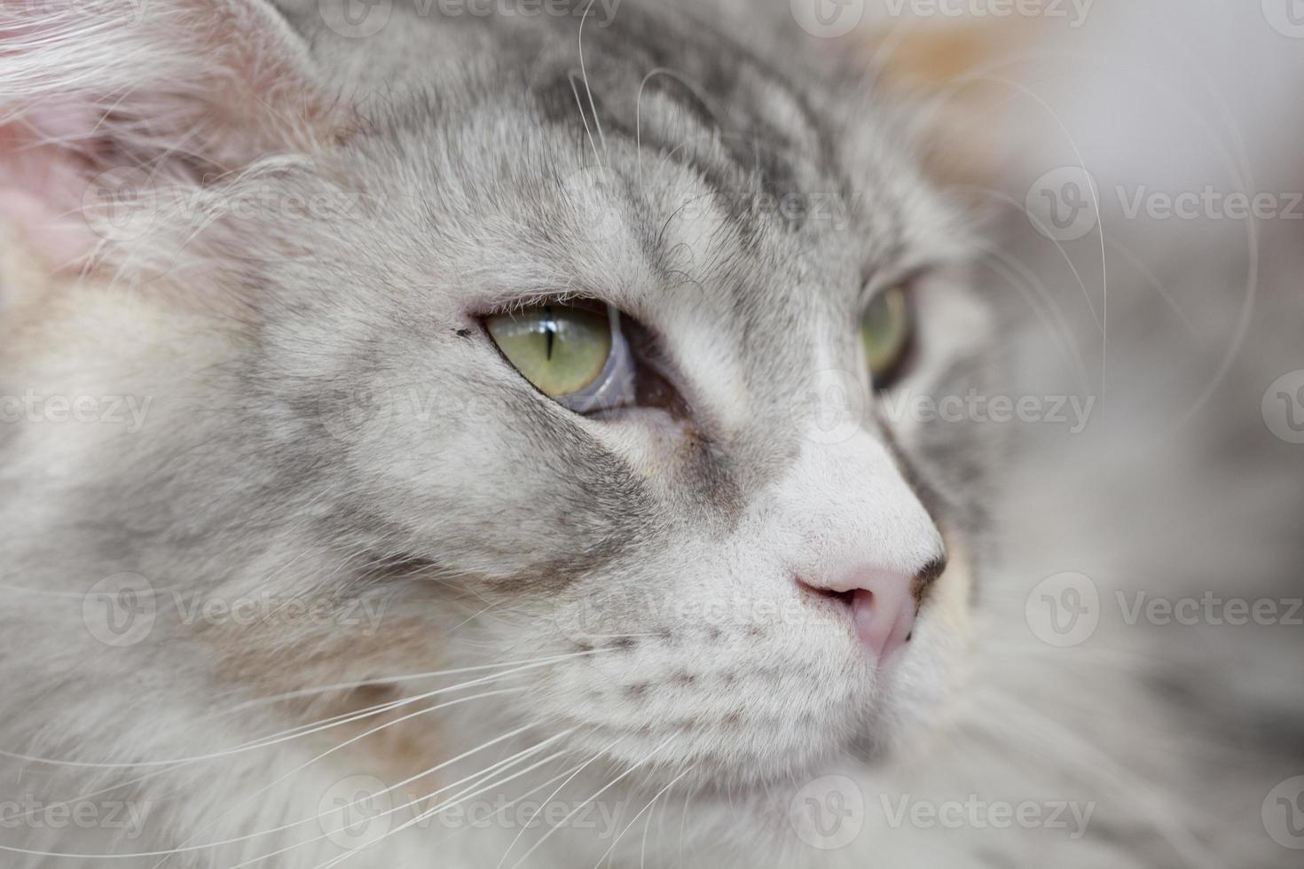 cabeza de gato de cerca foto