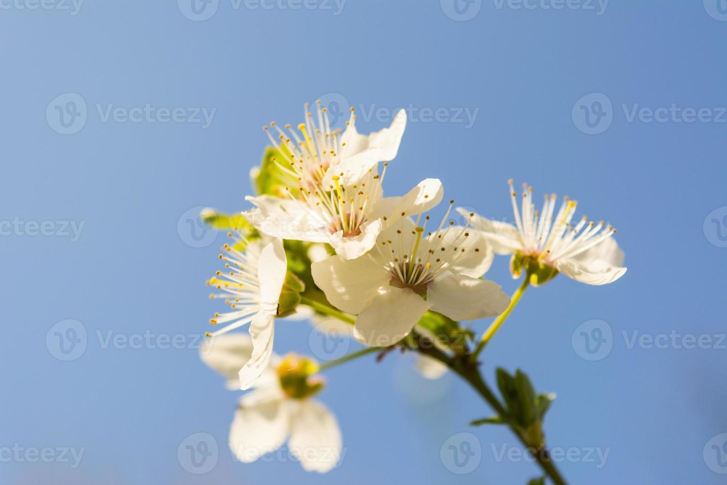 Blossoming branch close-up photo