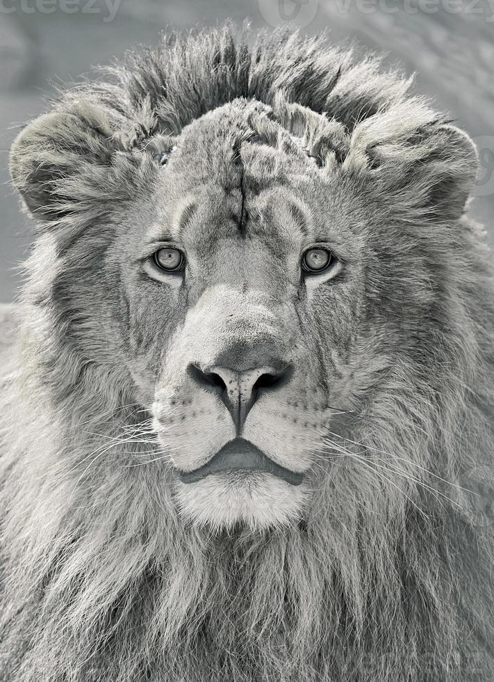 cerrar cabeza de león foto