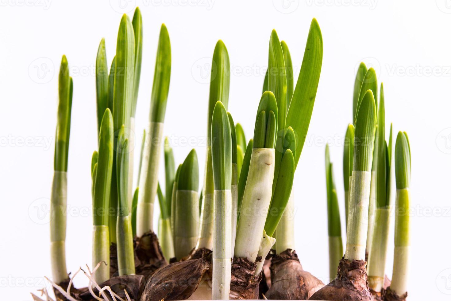close up daffodil bulbs photo