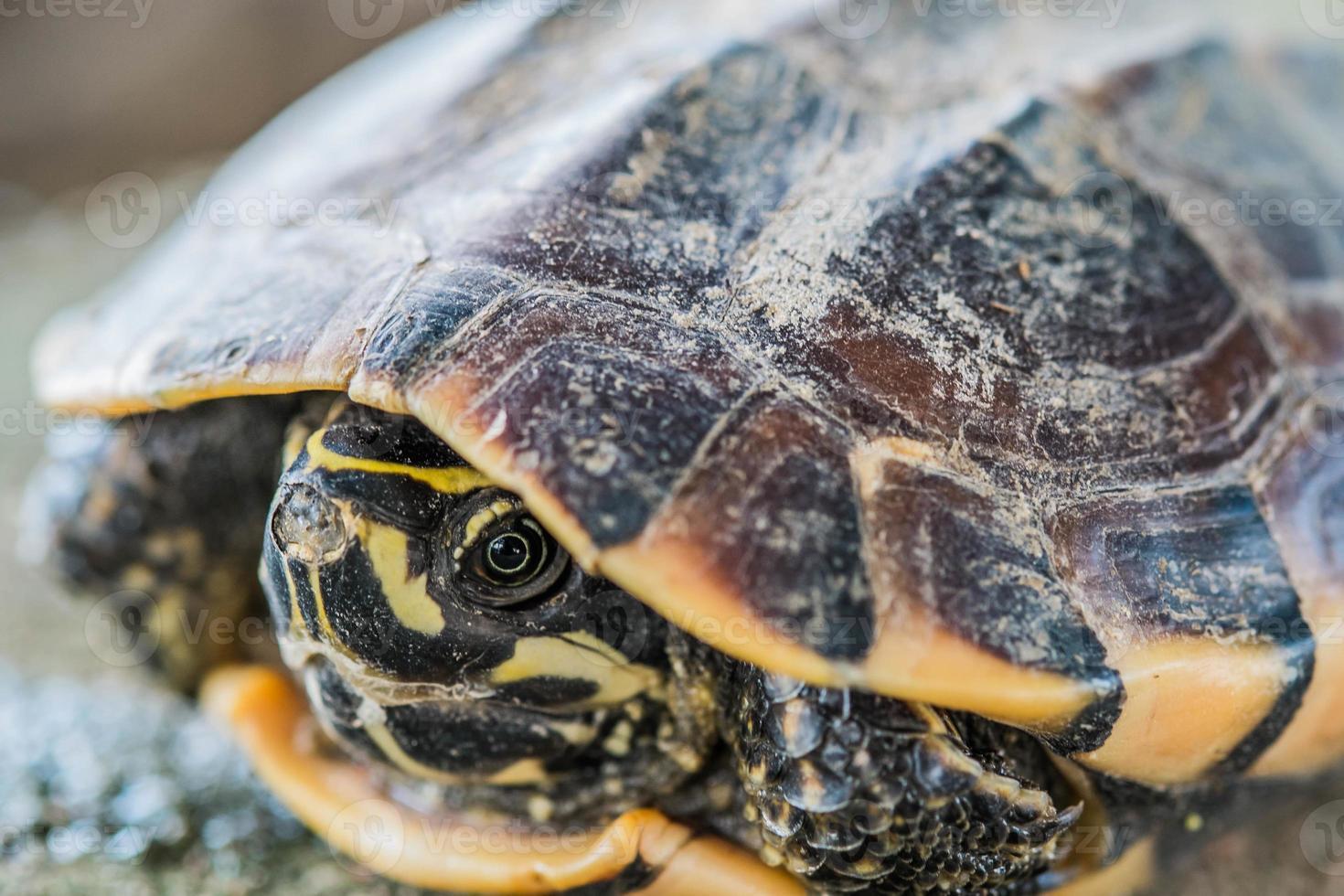 primer plano tortuga joven foto