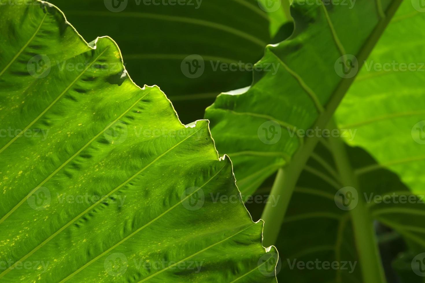 primer plano de hojas de ñame foto