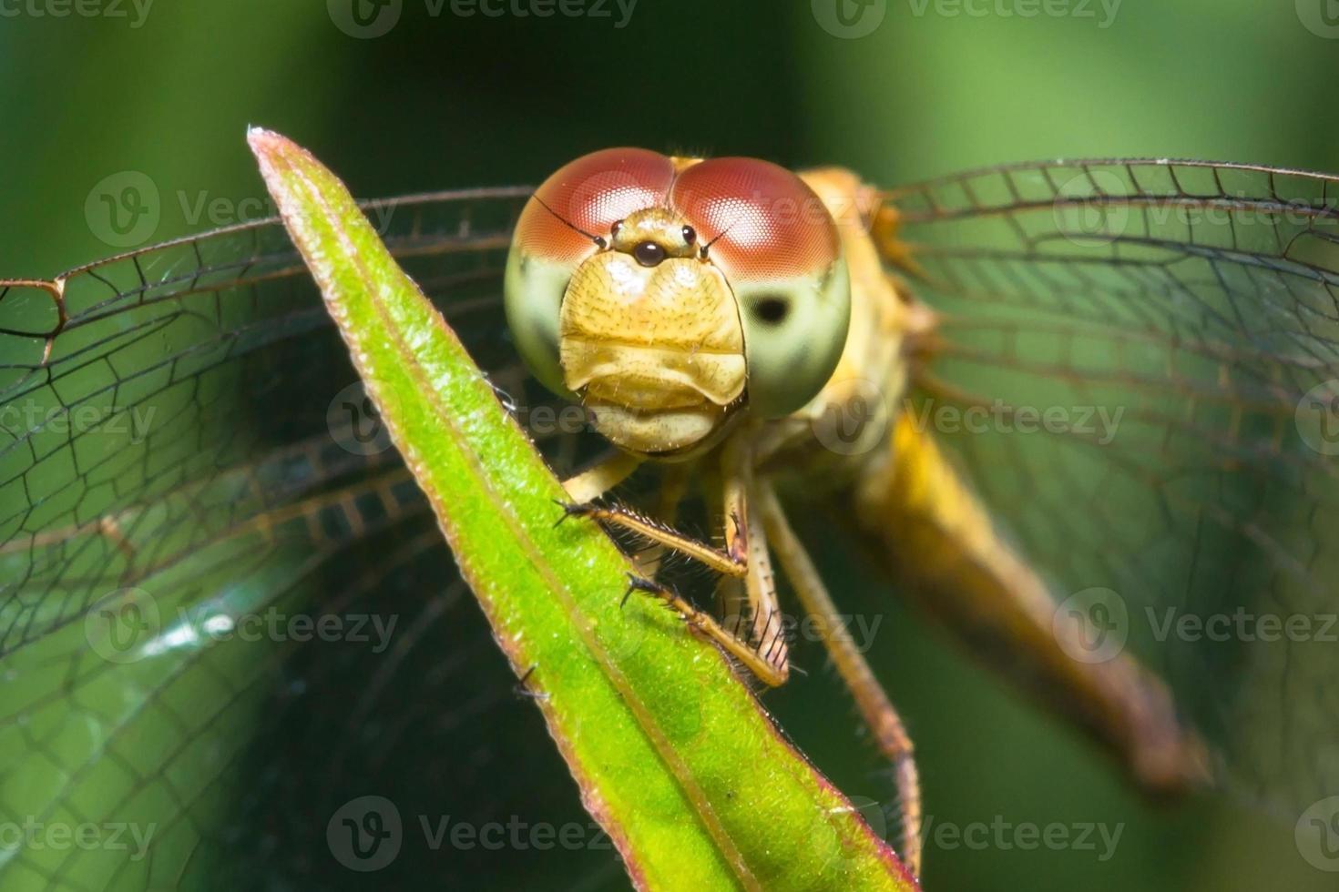 libélula de cerca foto