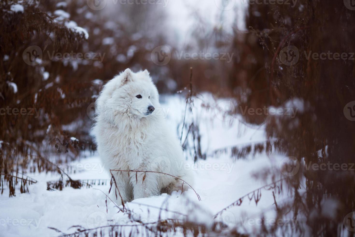 Gran perro lanudo sentado en la nieve. foto