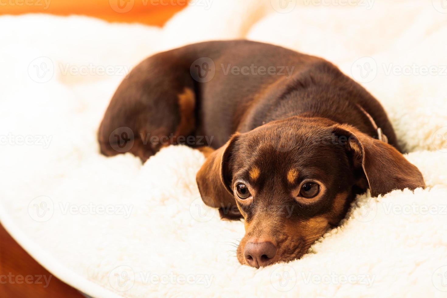 perro mixto relajante en cama en casa foto
