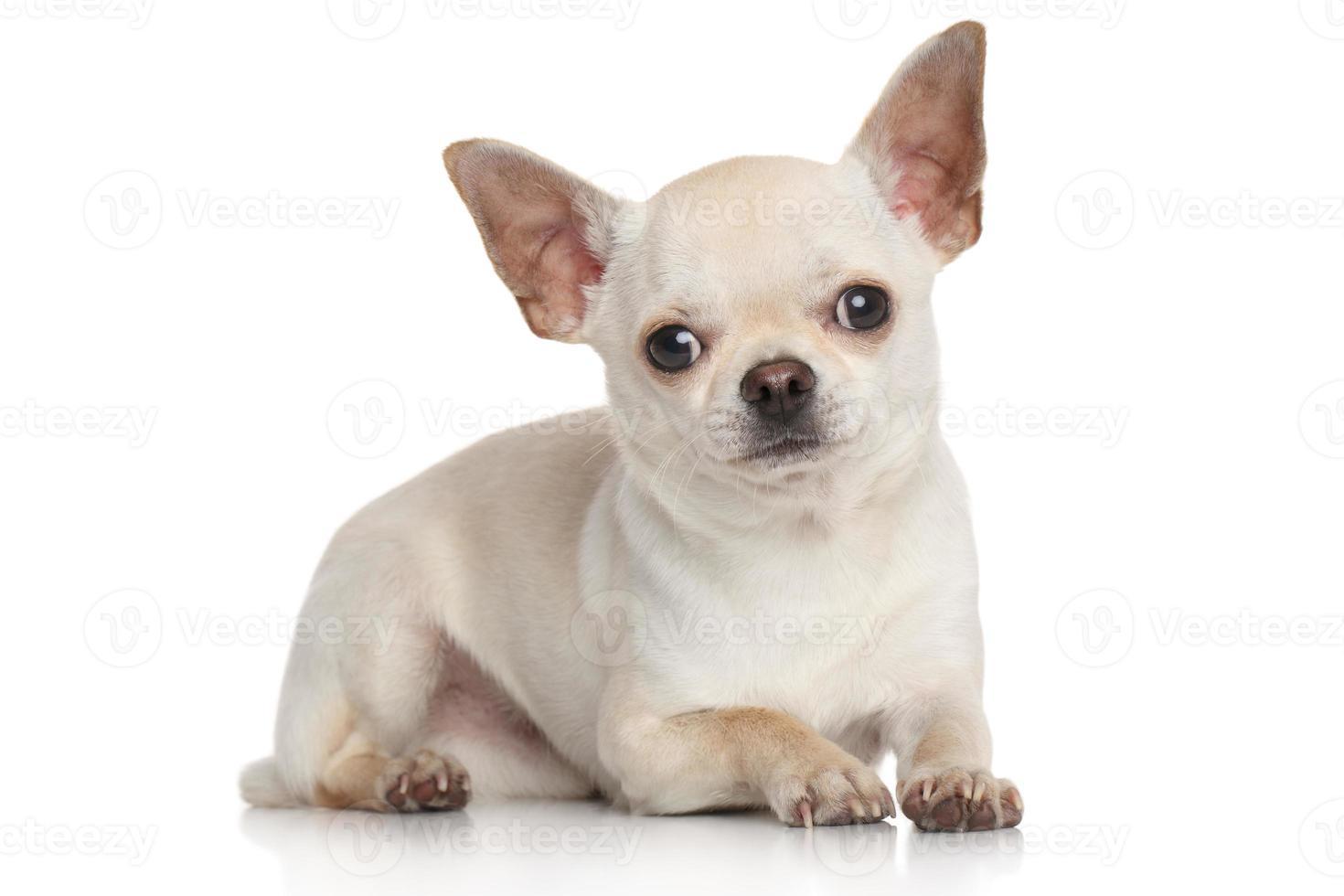 Chihuahua sobre fondo blanco foto
