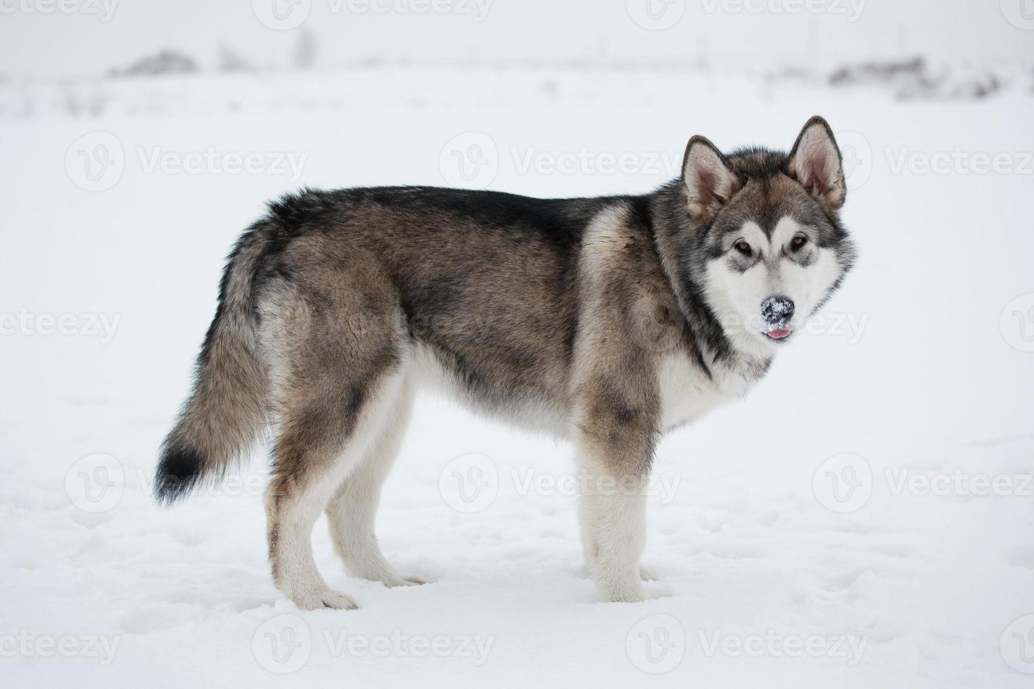 Alaskan Malamute stands photo