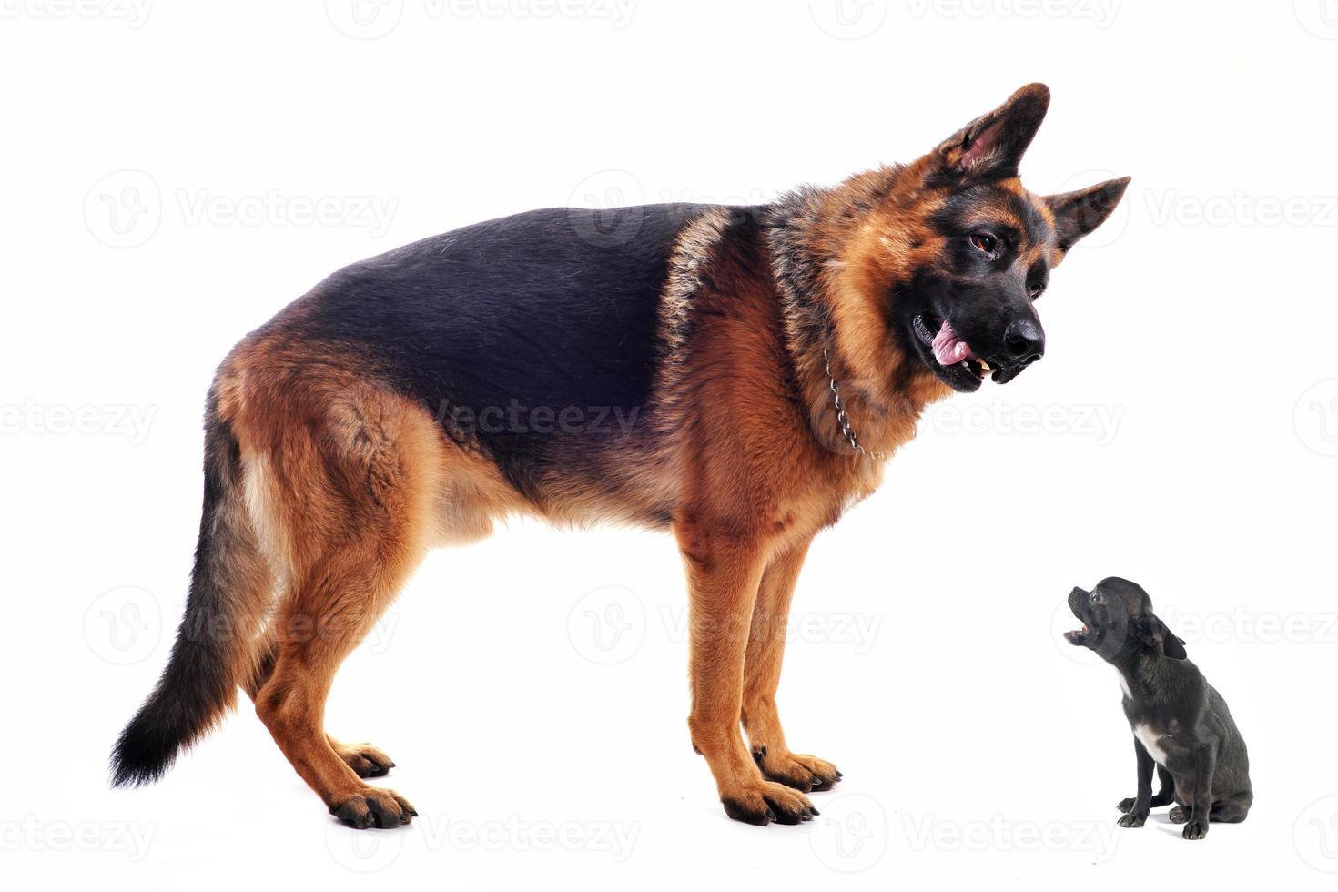 pastor alemán y chihuahua foto