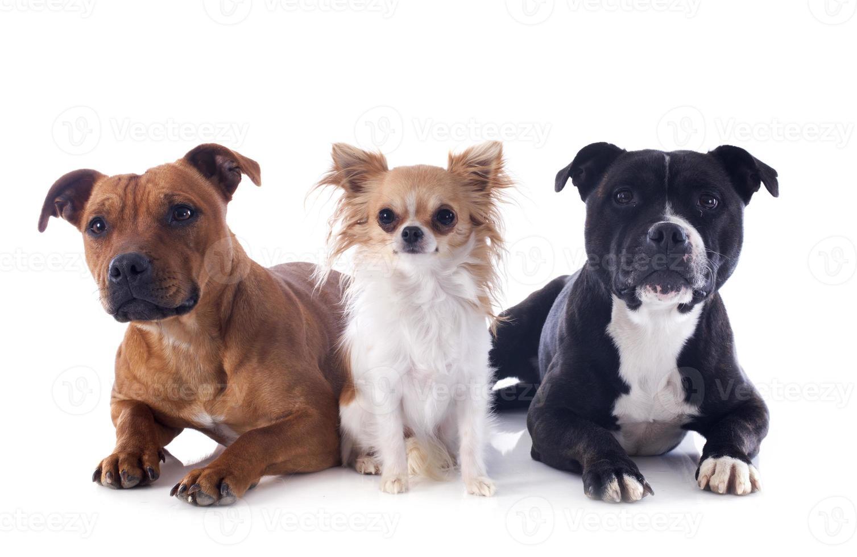 Staffordshire bull terriers y chihuahua foto
