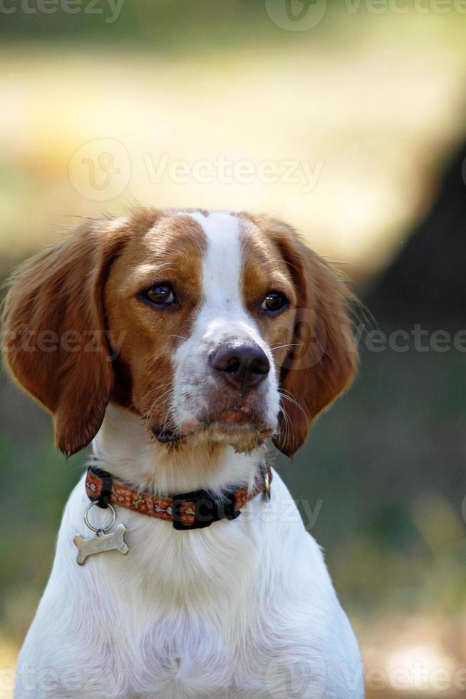 bretaña spaniel, perro joven, retrato foto