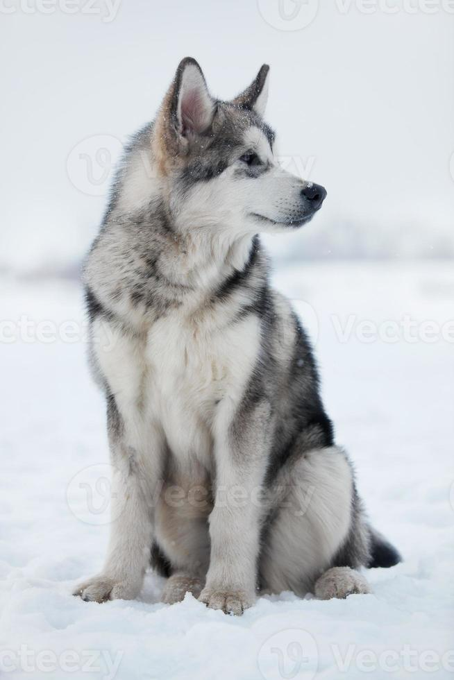 Husky puppy sitting in the snow photo