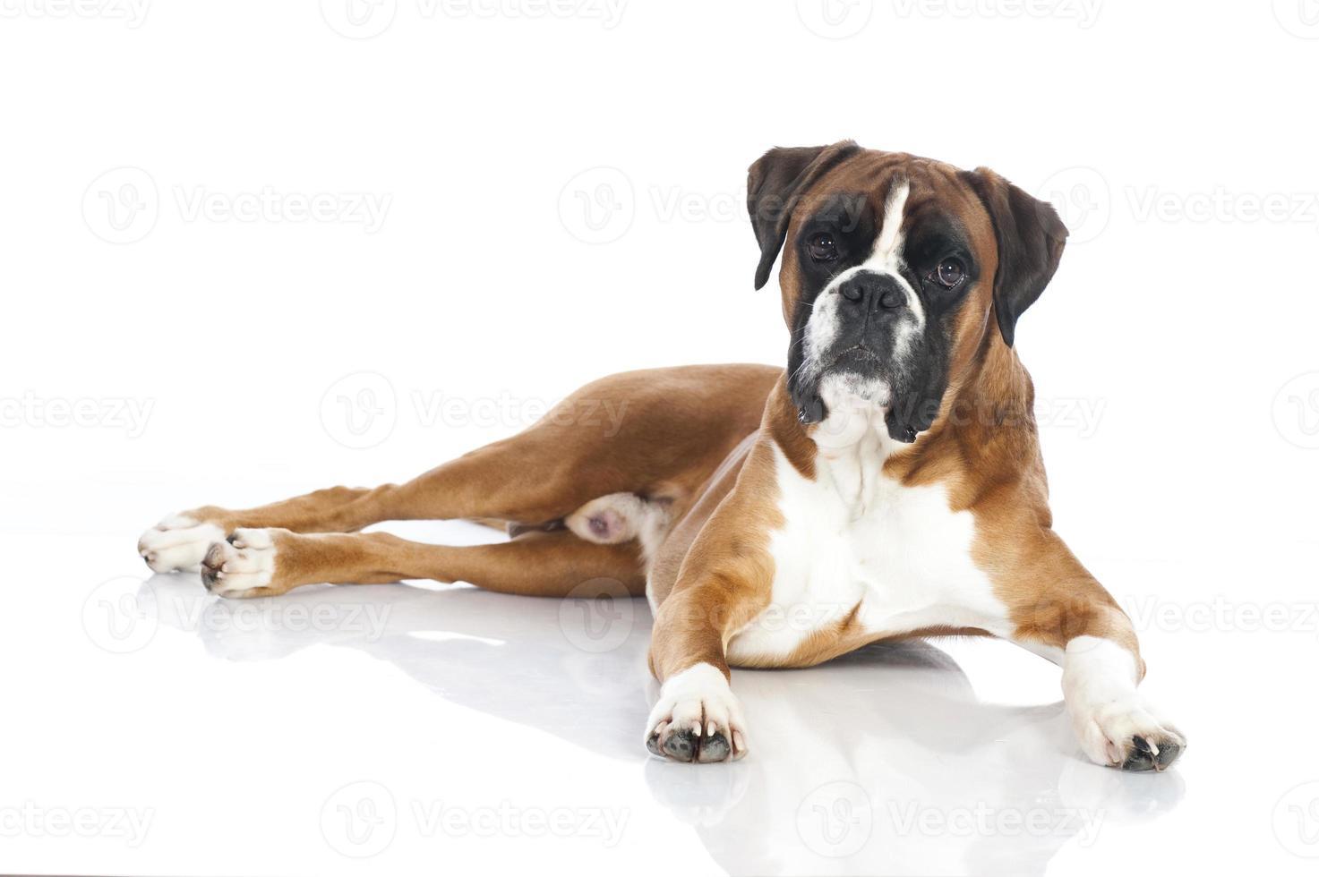 Lying boxer dog photo