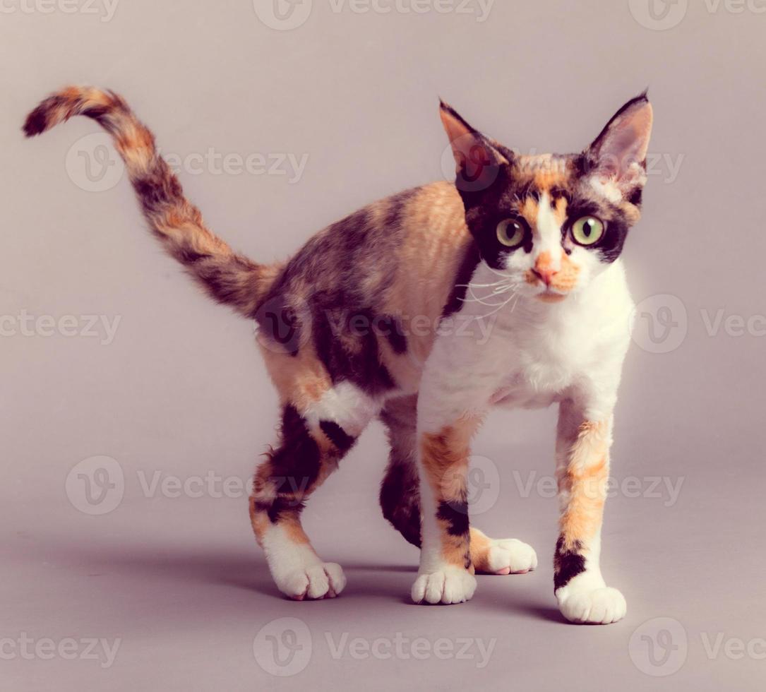 gato devon rex foto