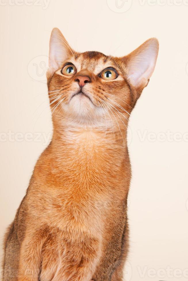 gato abisinio foto