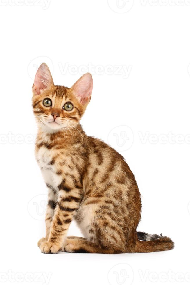 Bengal kitten photo