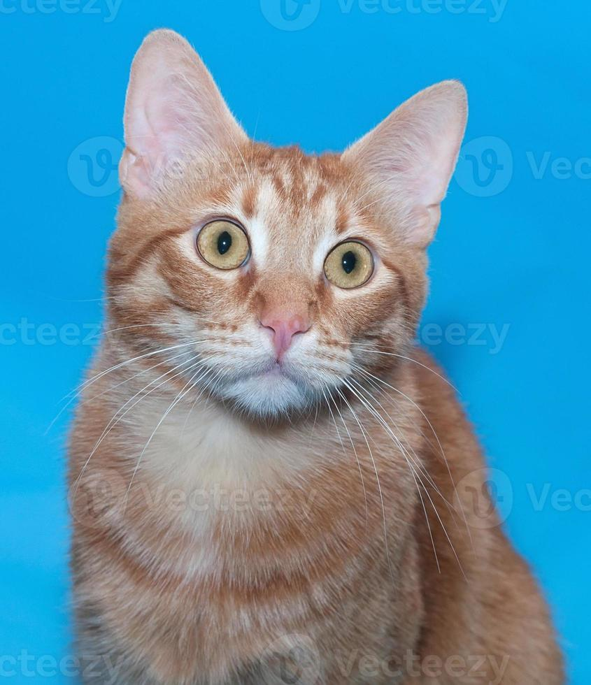 Portrait of red cat on blue photo