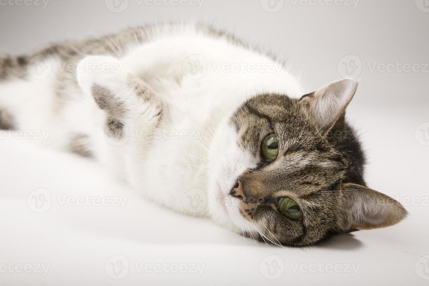 gato deitado foto