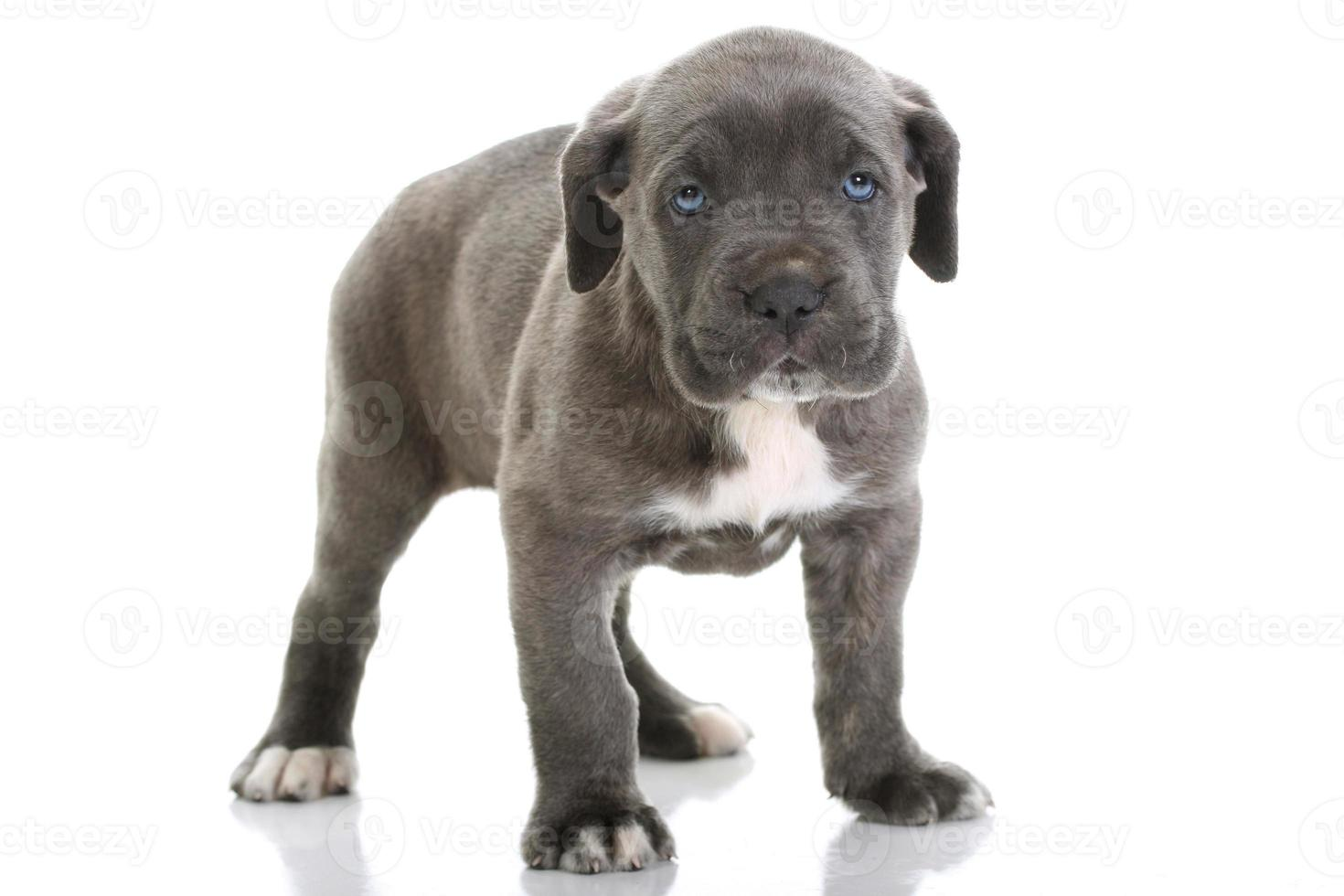 cachorro mastín italiano cane corso con ojos azules foto